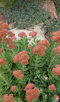 Autumn Joy Sedum and Greek Yarrow